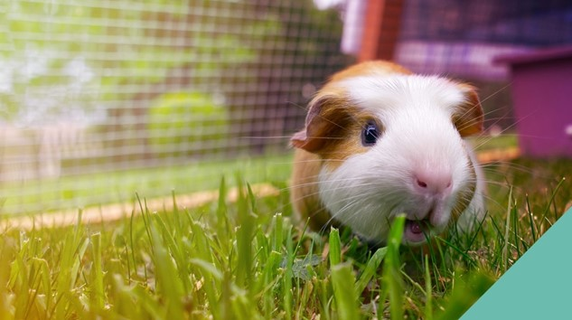 Guinea pig space requirements